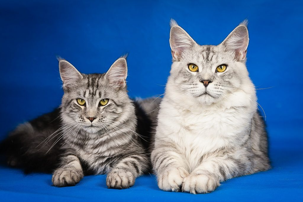 maine-coon-2934708_1920
